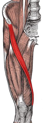 Qual è il nostro muscolo più lungo, e quello più piccolo?