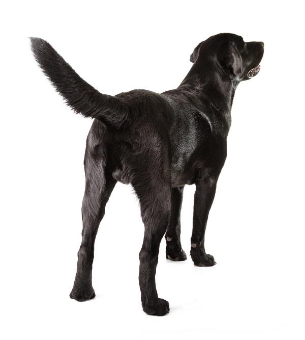 Se il cane scodinzola è felice?