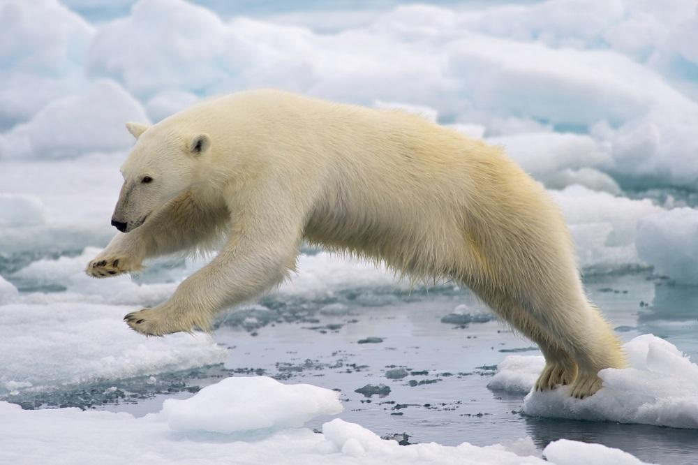 È vero che agli orsi polari puzzano le zampe?