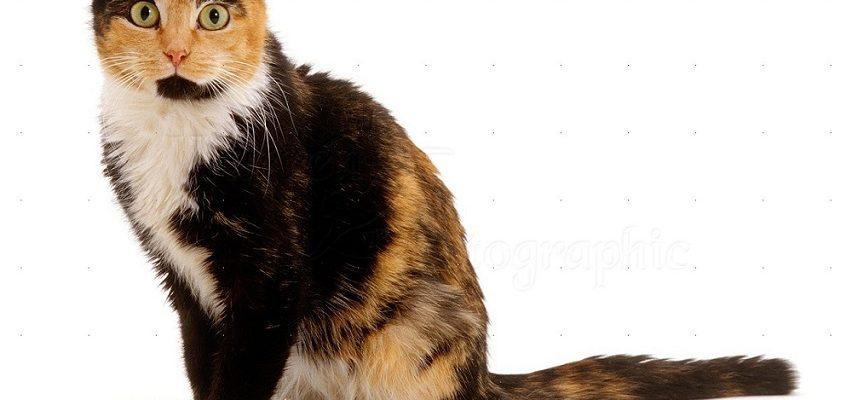 È vero che i gatti di tre colori possono essere solo femmine?