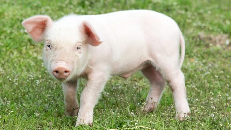 Un maiale in un prato