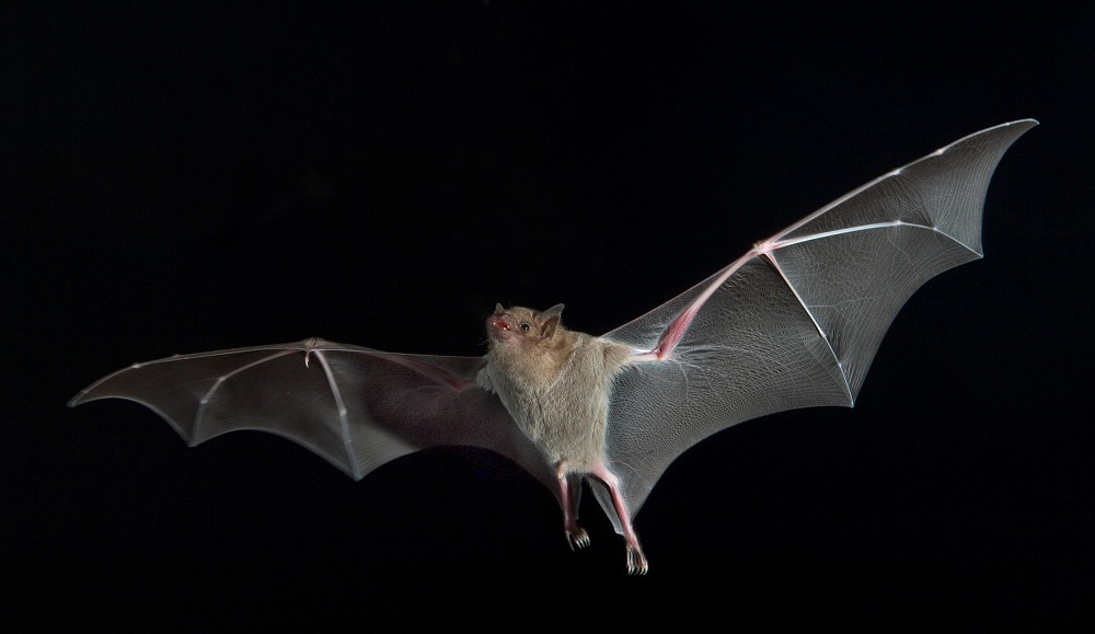 Esistono pipistrelli che succhiano il sangue?