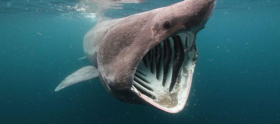 Gli squali elefante sono pericolosi?