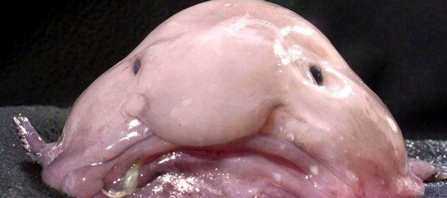 Che cos'è il pesce blob?