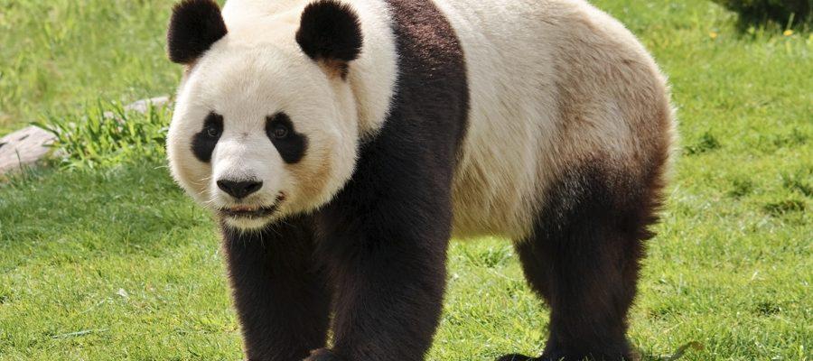 Perché il panda ha un sesto dito?