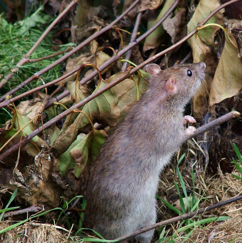 Cosa accadrebbe se i topi fossero più grandi?
