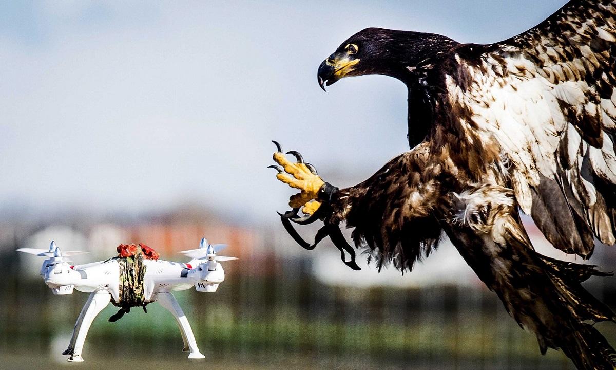Aquila che attacca un drone
