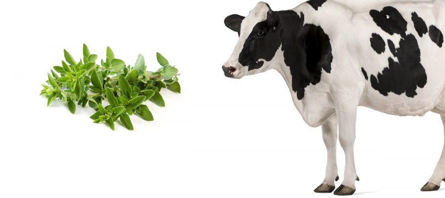 Cosa succede se le mucche mangiano l'origano?