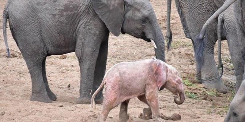 Esistono gli elefanti rosa?