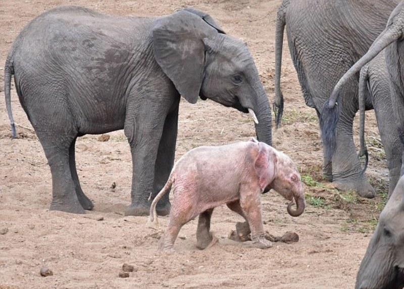 L''elefante albino del Kruger National Park
