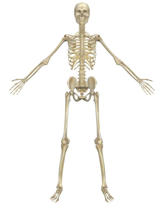 Quanto sono forti le ossa?