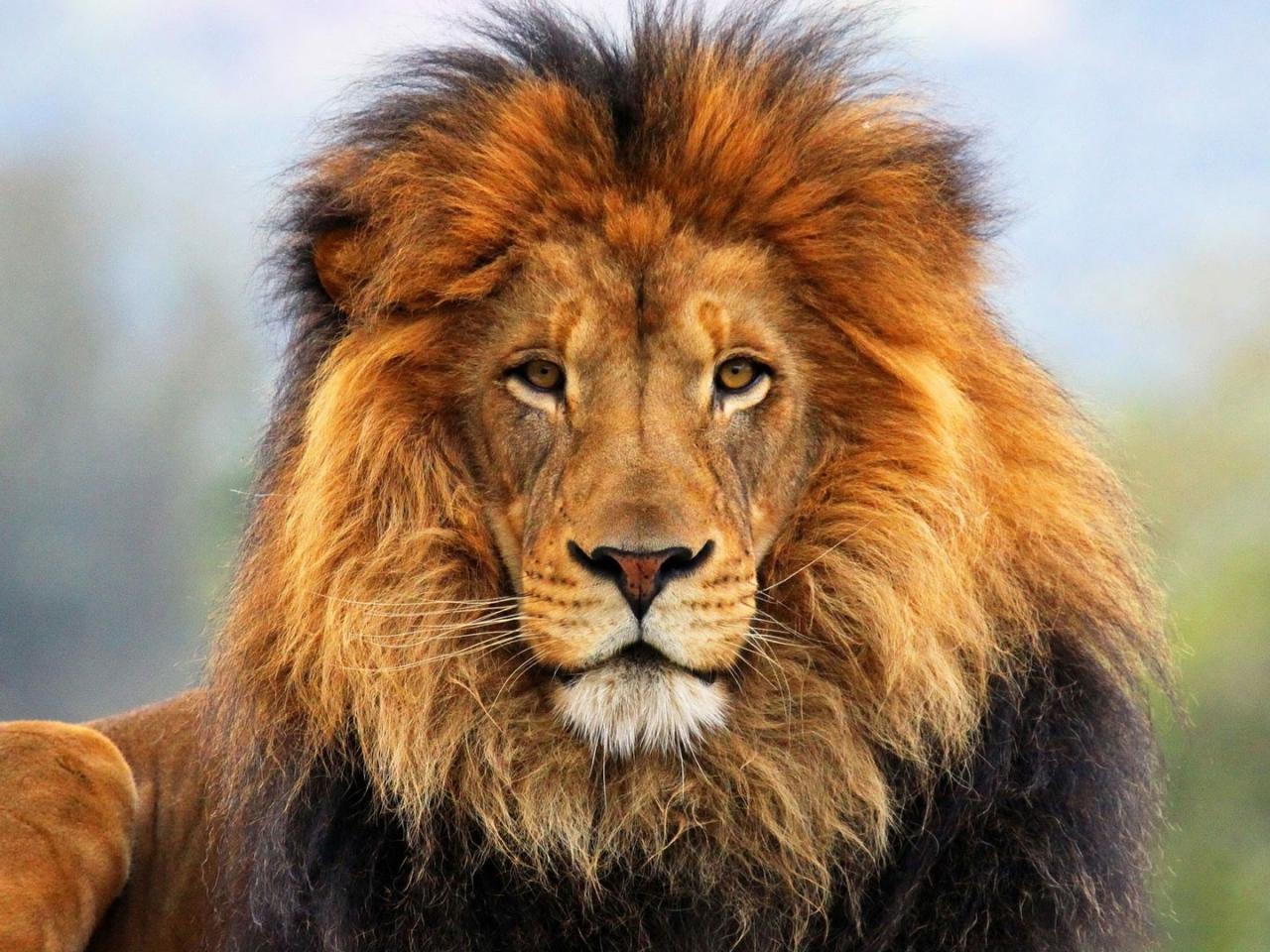 I leoni si stanno estinguendo?