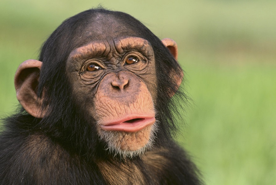 Il cervello dei primati è più grande