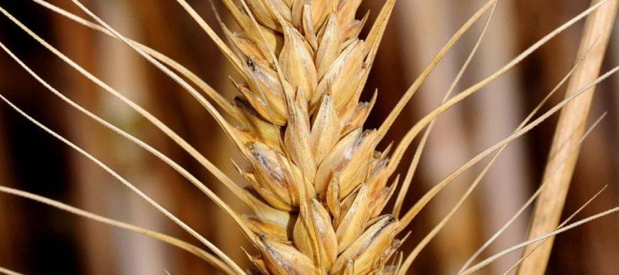 Cos'è la farina di Kamut?