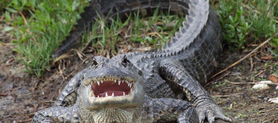 Perché i coccodrilli non si sono estinti insieme agli altri rettili preistorici?