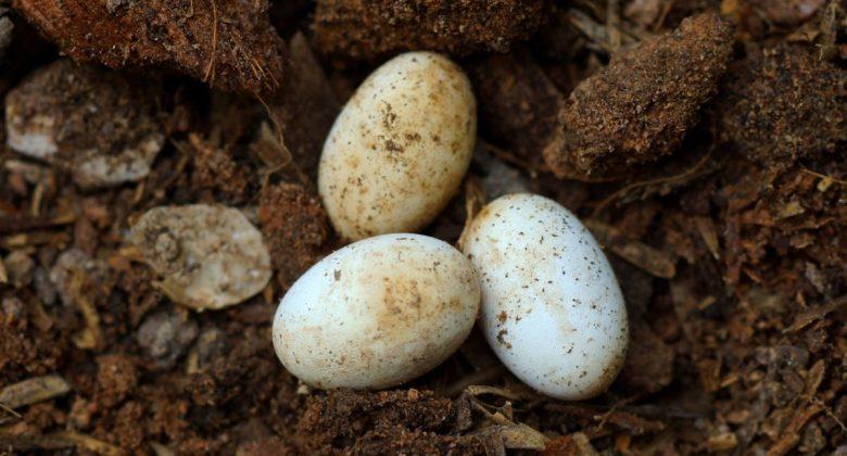 Tutti i rettili preistorici deponevano le uova?