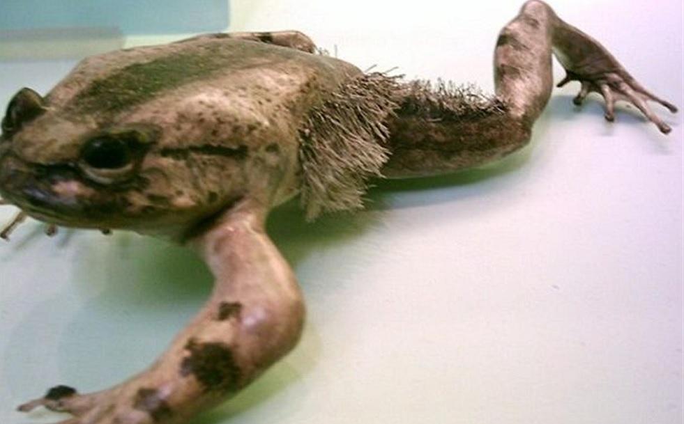 La rana con gli artigli. Trichobatrachus robustus