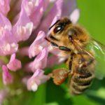 Quali cibi scomparirebbero se non ci fossero le api?