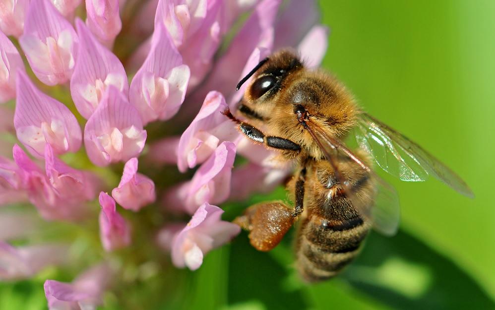 Se le api scomparissero