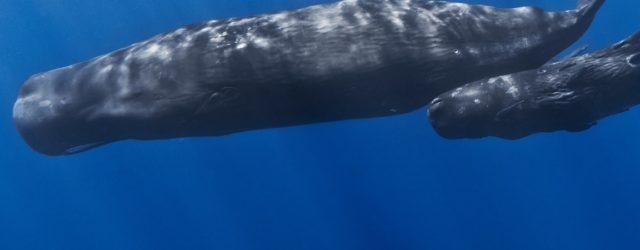 Come fa il capodoglio a immergersi a grandi profondità e per così tanto tempo?