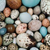 Come mai le uova degli uccelli non sono uguali?