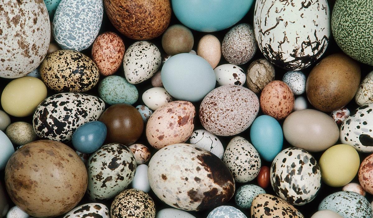 Perché le uova degli uccelli non sono uguali