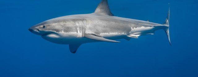 Perché gli acquari non hanno squali bianchi?