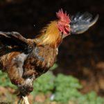 Perché le galline non volano?