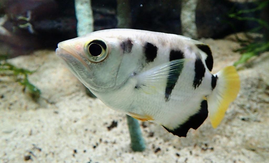 I pesci arcieri (Toxotidae)