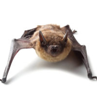 Perché i pipistrelli sbattono contro i vetri?