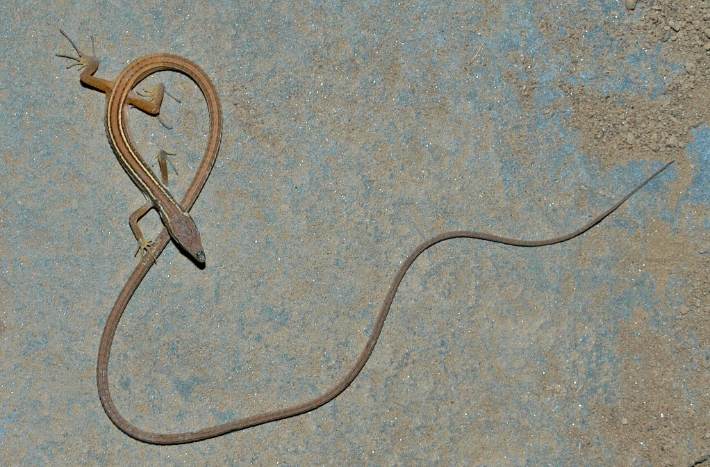 La Takydromus sexlineatus, la lucertola con la coda più lunga