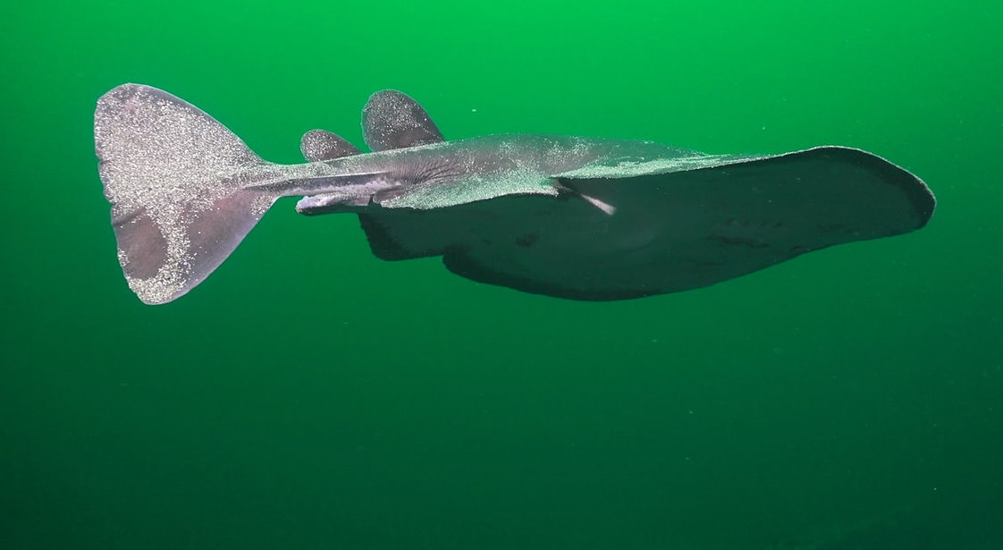 Il pesce elettrico: la torpedine nera