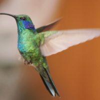 Come fa il colibrì a rimanere fermo in volo?