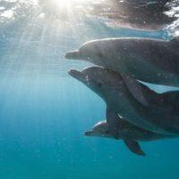 I delfini si riconoscono tra loro?