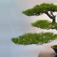 Perché i bonsai rimangono piccoli?