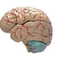 Invecchiando il cervello diventa più piccolo?
