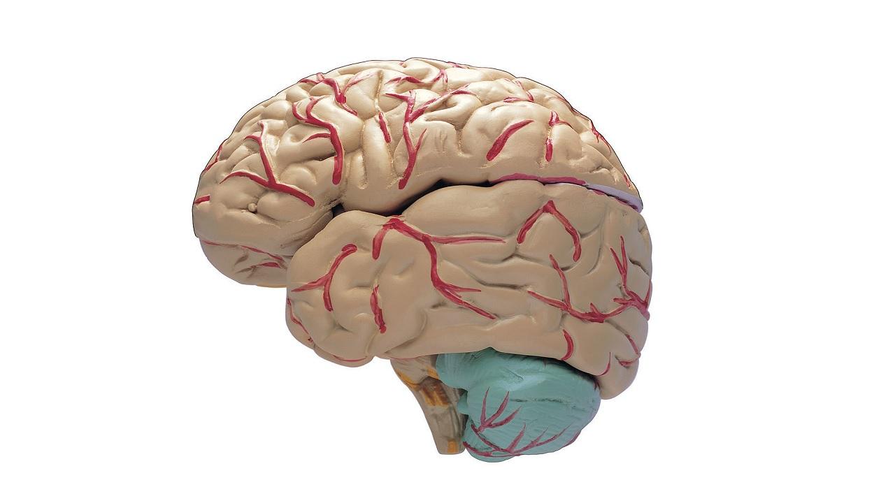 L'invecchiamento restringe il cervello?