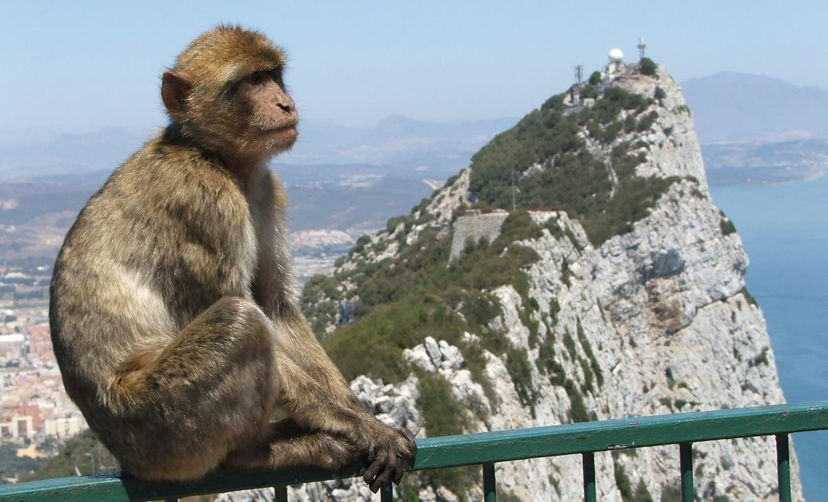 L'unica scimmia europea, la bertuccia di gibilterra