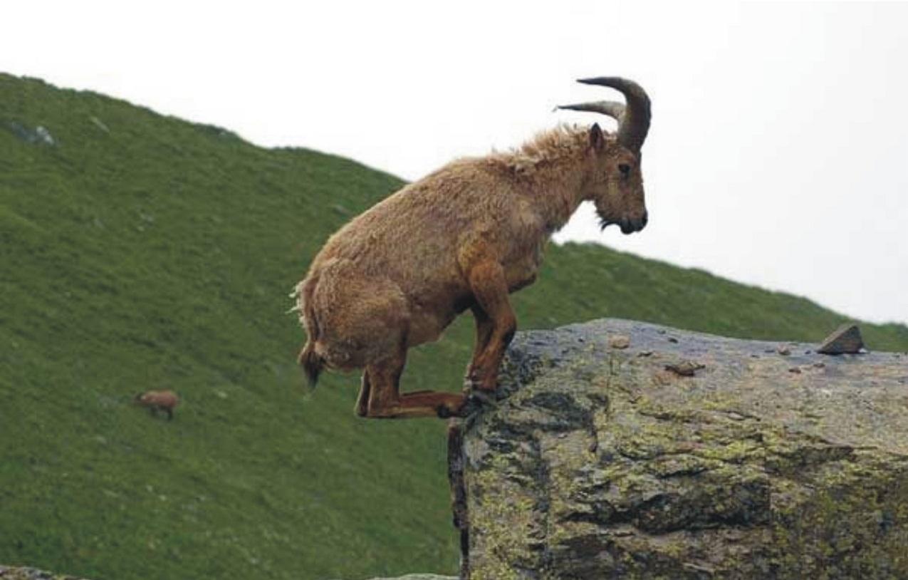 L'equilibrio delle capre