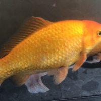 I pesci rossi non hanno memoria?
