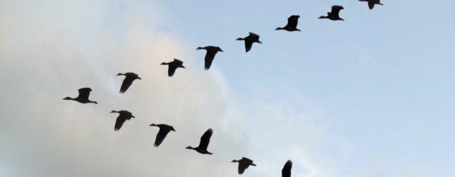 Perché gli uccelli volano a V?