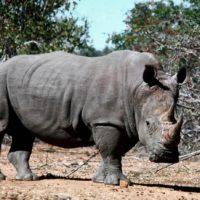 Quanto è spessa la pelle del rinoceronte?