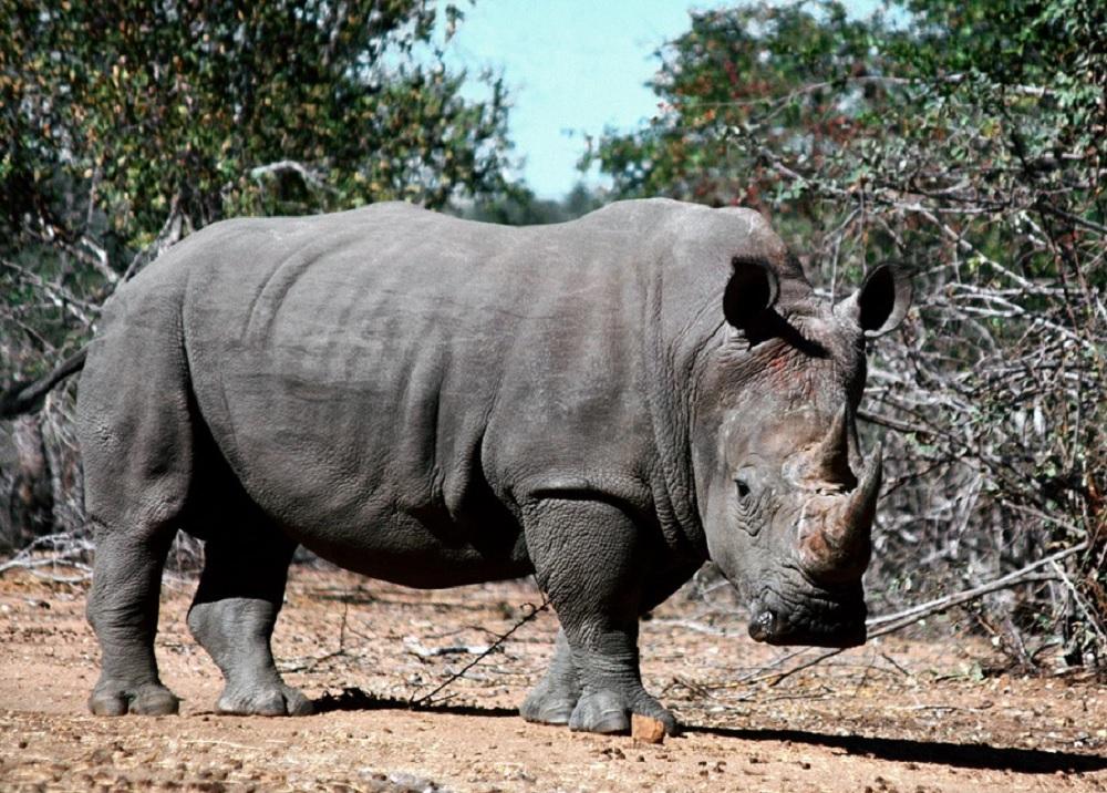 La pelle dei rinoceronti
