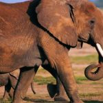 Quanto sono intelligenti gli elefanti?