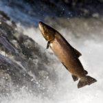 Come fanno i salmoni a risalire la corrente?
