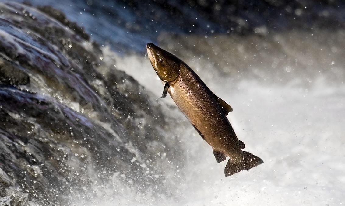 Perché i salmoni risalgono la corrente