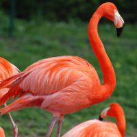 Esistono fenicotteri rossi?