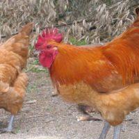 Le galline allontanano le zanzare?