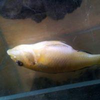 Perché i pesci morti galleggiano?