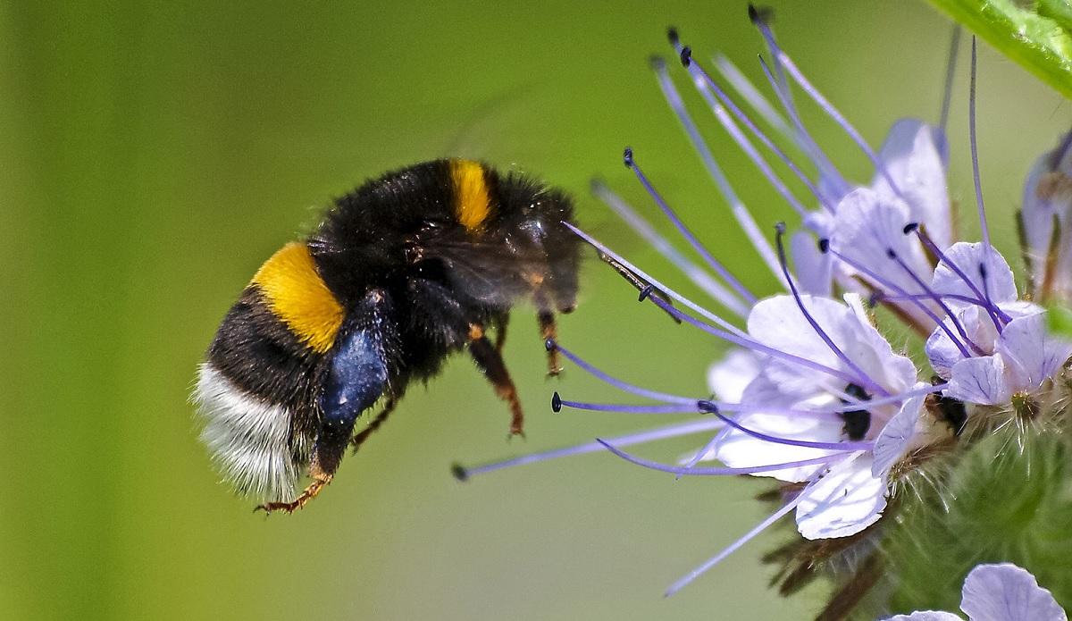 La scomparsa delle api e delle vespe in Germania
